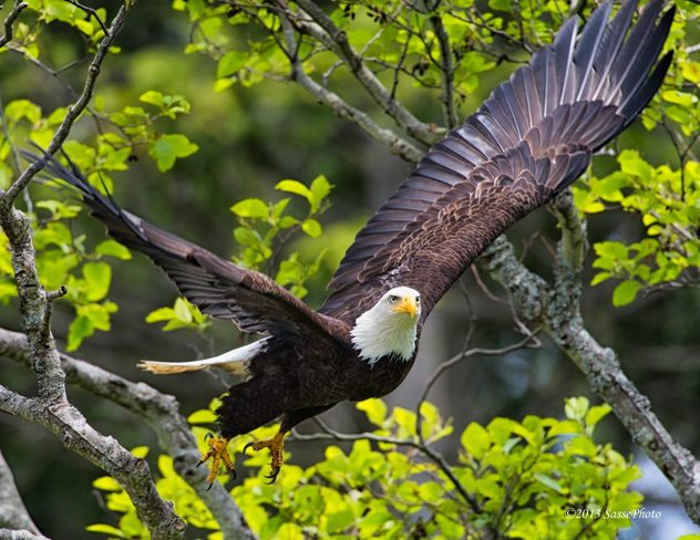 Eagle takes off Vancouver, British Columbia Canada