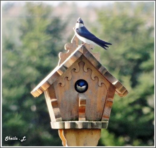 Nesting Tree Swallows Canning, Nova Scotia Canada