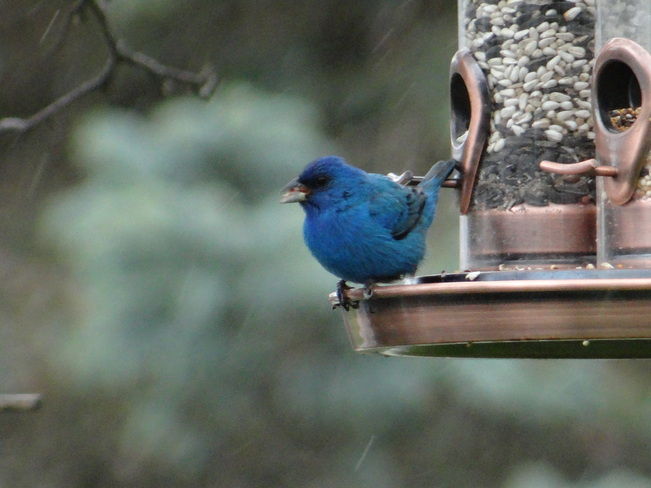 Bluebird of Happiness on Mother's Day Acton, Ontario Canada