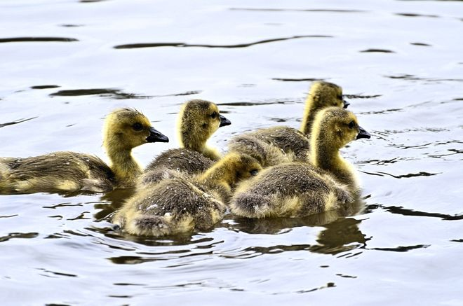 Goslings...first sighting Vancouver, British Columbia Canada