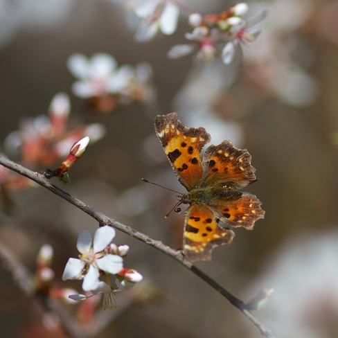 Comma Butterfly on cherry 2