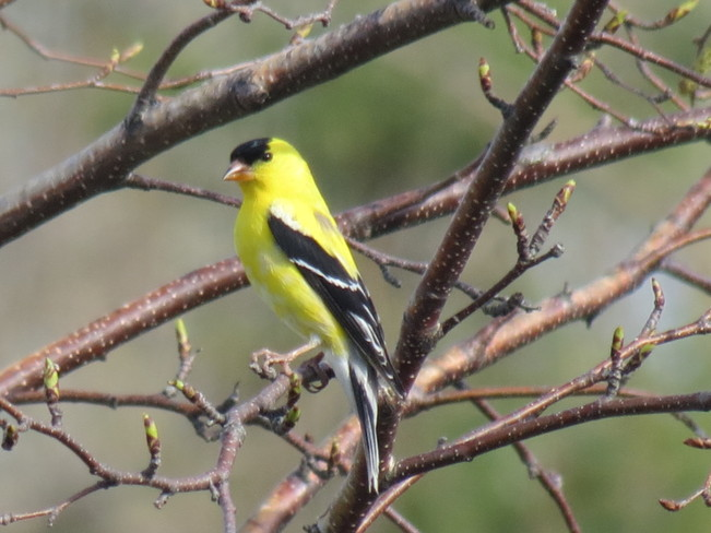 Goldfinch Ligny-Saint-Flochel, Quebec Canada