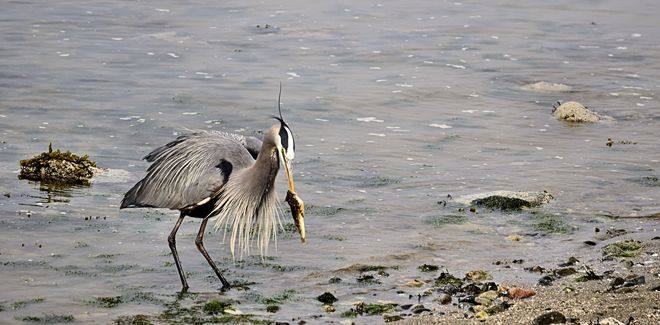 Blue Heron eating his catch Vancouver, British Columbia Canada