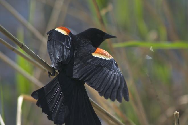 Red-wing blackbird Montréal, Quebec Canada