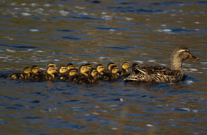 getting all her ducklings in a row Tusket, Nova Scotia Canada