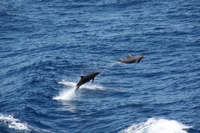 Dolphins in the Timor Sea Darwin, Northern Territory Australia