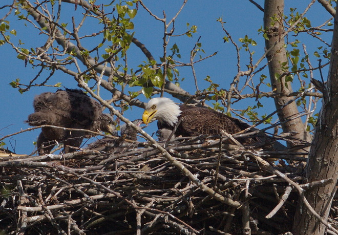 Rooster Feeding the Eaglets Kitchener, Ontario Canada