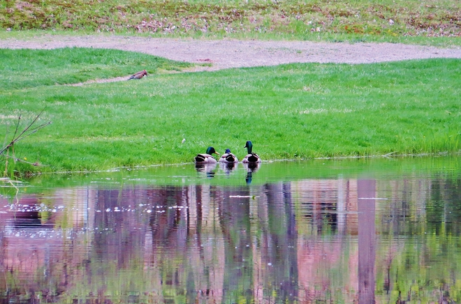 Three Mallard drakes thinking of their stomachs? North Bay, Ontario Canada