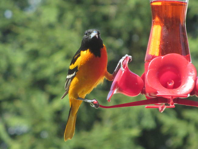 Oriole. Whops they caught me! Grand Valley, Ontario Canada