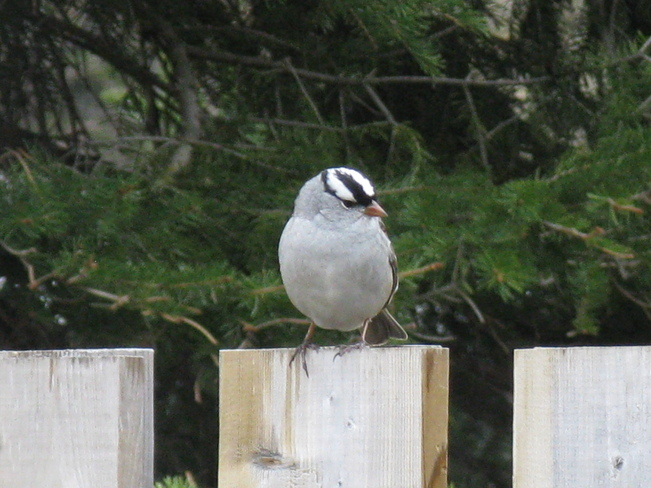 WHITE CROWNED SPARROW Cochrane, Ontario Canada