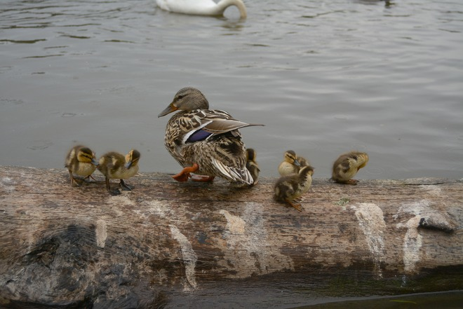 Ducklings of Stanley Park Vancouver, British Columbia Canada