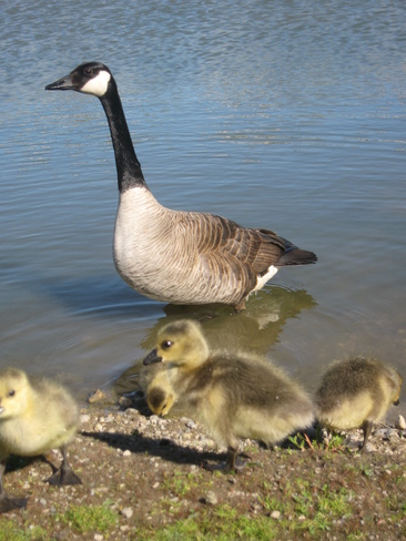 Goose and goslings Guelph, Ontario Canada