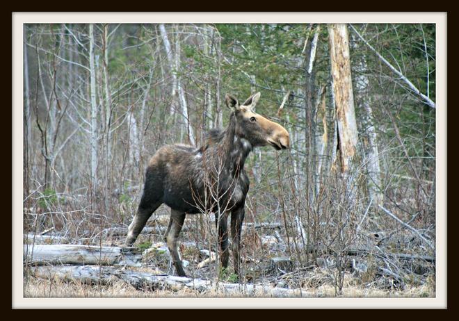 Moose Cochrane, Ontario Canada