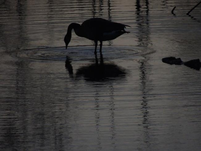 Goose silhouette Aurora, Ontario Canada