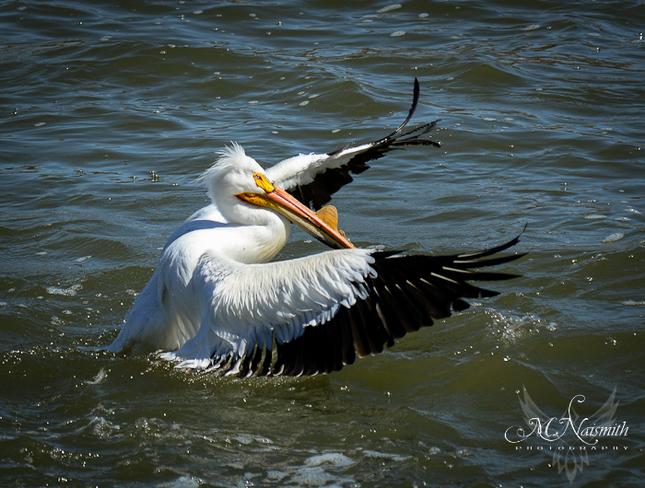 Pelican Saskatoon, Saskatchewan Canada