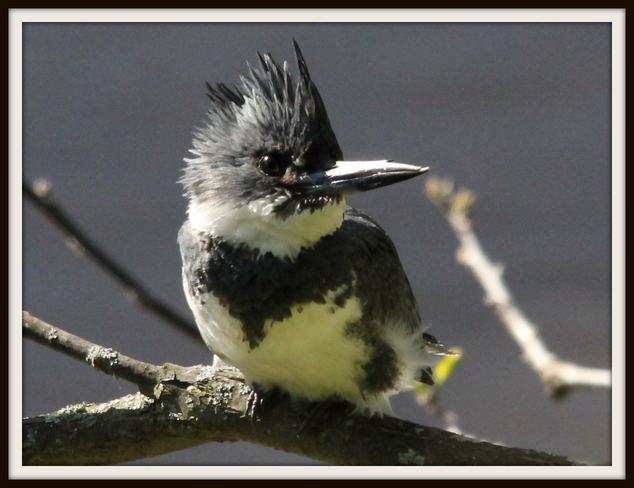Belted Kingfisher Fergus, Ontario Canada