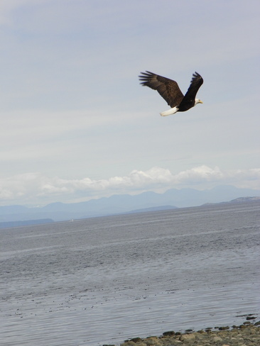 Eagle in flight Campbell River, British Columbia Canada