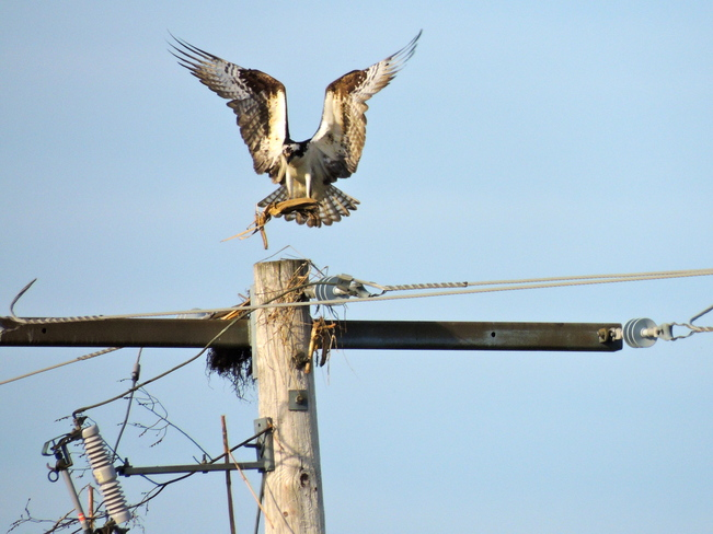 Great flyer. Can't build a nest here.. Port Perry, Ontario Canada