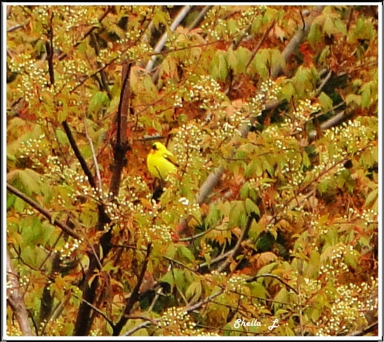 Yellow Finch In The Blossoms Canning, Nova Scotia Canada