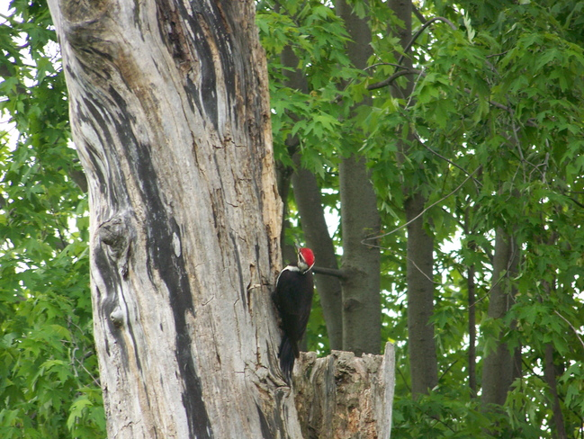 Red headed wood pecker Cornwall, Ontario Canada