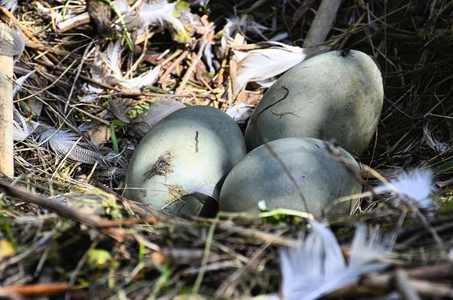 3 eggs-Swans Nest- Lost Lagoon Vancouver, British Columbia Canada