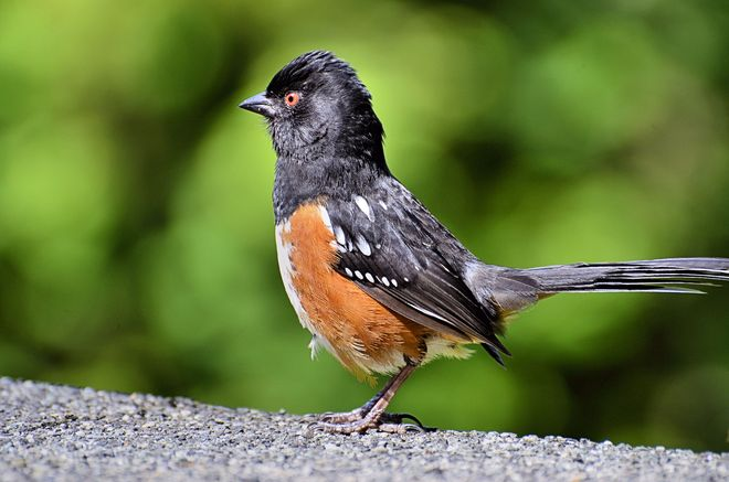 Spotted Towhee-Lost Lagoon Vancouver, British Columbia Canada