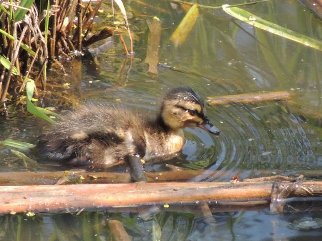 Duckling Aurora, Ontario Canada