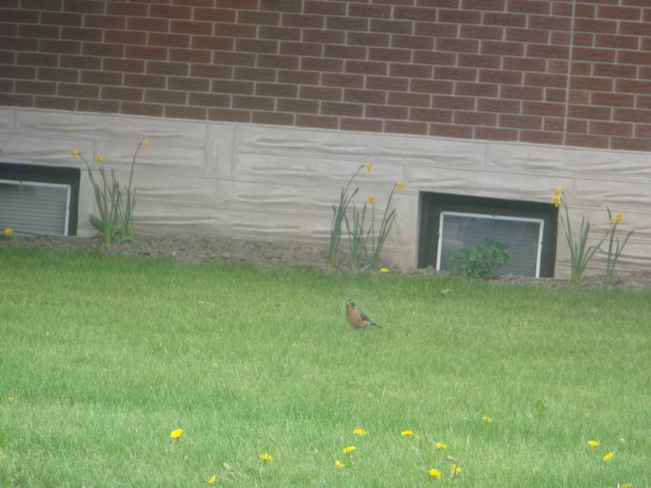 A Robin in the Grass Kitchener, Ontario Canada