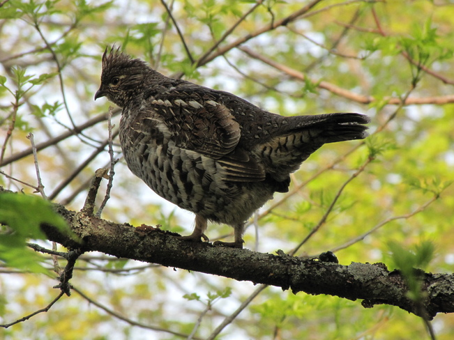 Ruffed Grouse West Bay, Ontario Canada