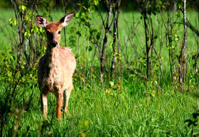 Deer Ottawa, Ontario Canada