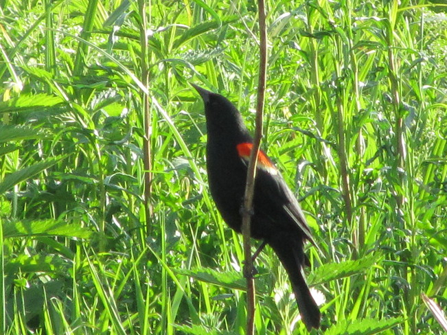 Red Winged Blackbird and very Green grass Vernon, British Columbia Canada