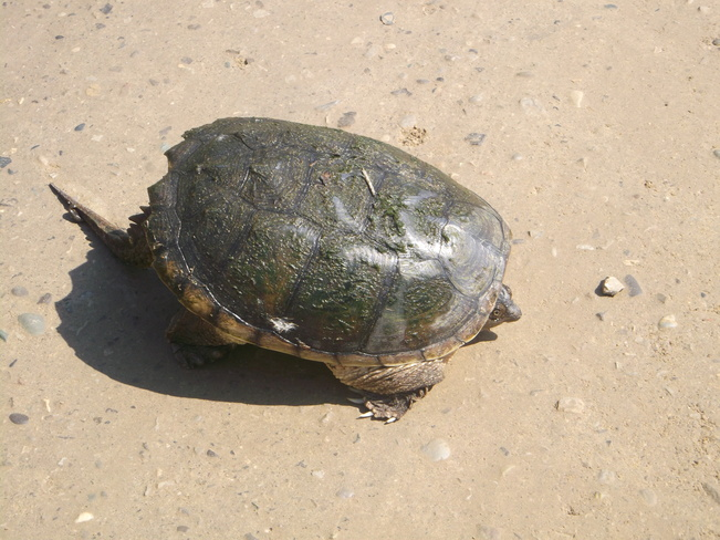 A Turtle at the Side of the Road Paris, Ontario Canada