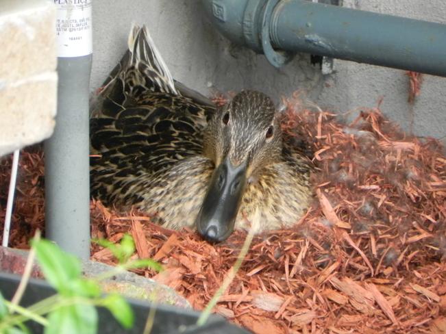 Next Door Duck .... Tillsonburg, Ontario Canada
