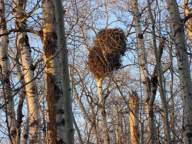 Huge Eagle Nest Selkirk, Manitoba Canada