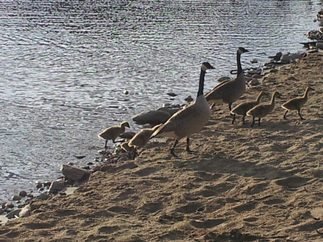 Geese Family going for a walk Penticton, British Columbia Canada
