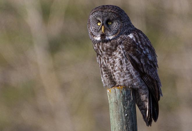 Great Grey Owl Calgary, Alberta Canada