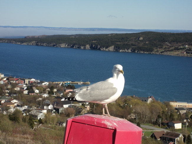 The gull overlooking the town Carbonear, Newfoundland and Labrador Canada