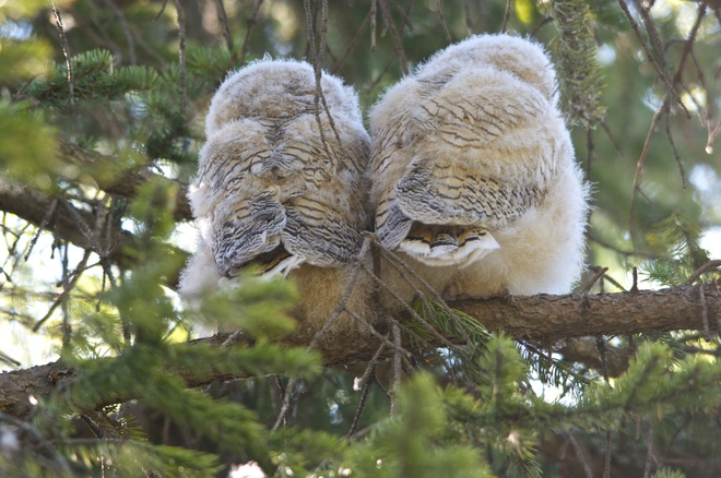 Great horned owls in Bowness park Calgary, Alberta Canada