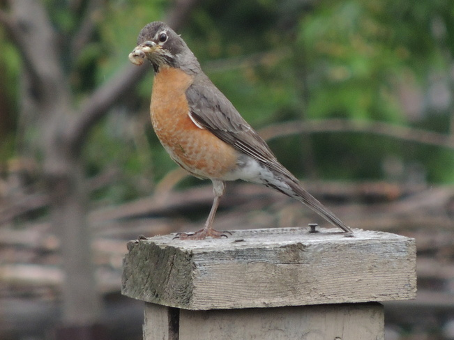 Robin with a snack Newmarket, Ontario Canada