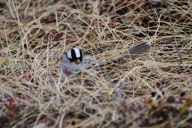 White-crowned Sparrow Lake Louise, Alberta Canada