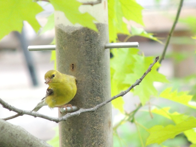 American Goldfinch Newmarket, Ontario Canada