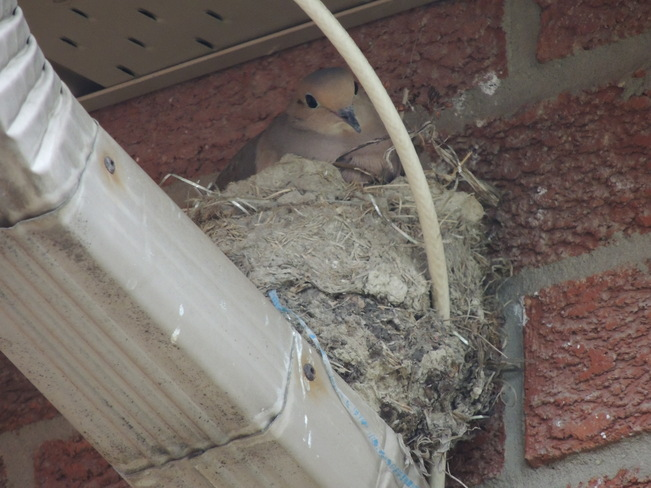 Mourning Dove nest on my neighbour's downspout Newmarket, Ontario Canada