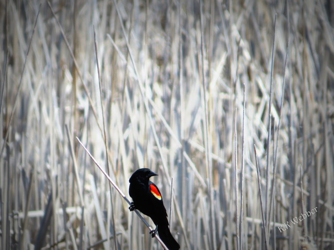 Red-Wing Black Bird - Rondeau Park Marshes Chatham, Ontario Canada