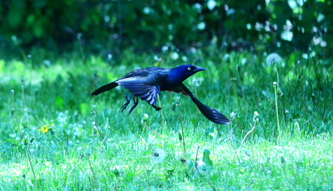 Grackle on approach two-niner Brantford, Ontario Canada