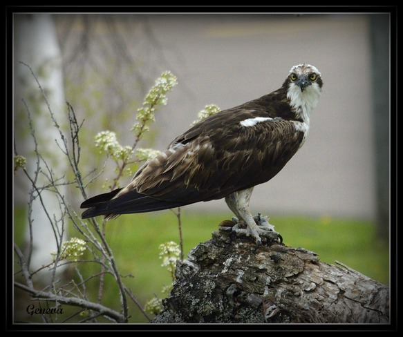 The Osprey Bouctouche, New Brunswick Canada