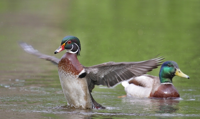 Wood duck,,, Laval, Quebec Canada