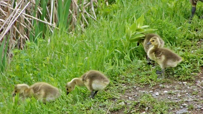 Baby Geese Lindsay, Ontario Canada