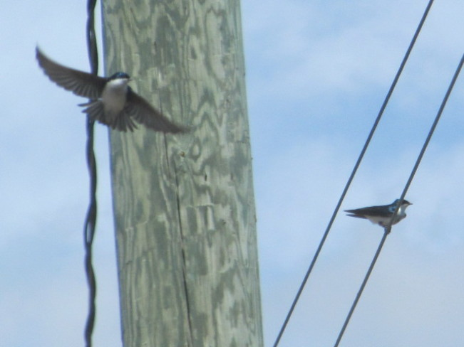 Tree Swallow Near nest Moncton, New Brunswick Canada