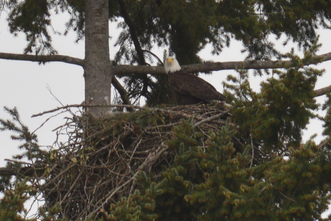 Nesting North Vancouver, British Columbia Canada