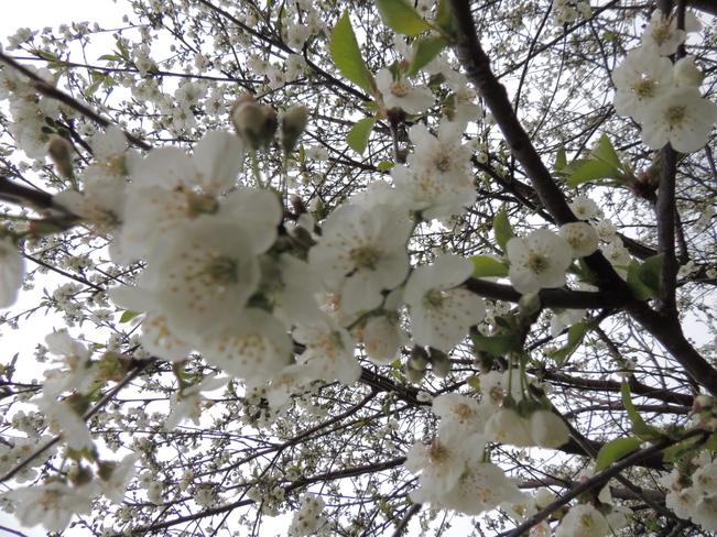 Apple Blossom's Mahone Bay May 23rd 2013 Mahone Bay, Nova Scotia Canada